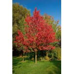 Acer rubrum 'Armstrong' - Érable rouge 'Armstrong'
