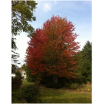 Acer rubrum 'Northwood' - Érable rouge 'Northwood'