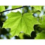 Acer platanoïdes 'Emerald Lustre' - Érable de Norvège 'Emerald Lustre'