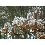 Amelanchier laevis 'Spring Flurry' - Amélanchier glabre