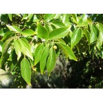 Celtis occidentalis - Micocoulier