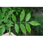 Fraxinus pennsylvanica - frêne