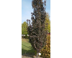 Malus 'Purple Spire' - pommetier décoratif Purple Spire