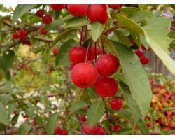 Malus 'Red Splendor' - pommetier décoratif Red Splendor
