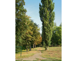 Populus nigra 'Thevestina' - Peuplier de Lombardie
