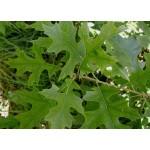 Quercus rubra - Chêne rouge