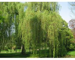 Salix alba 'Tristis' - Saule pleureur