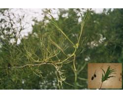 Alnus glutinosa Imperialis - Aulne