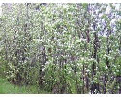 Amelanchier canadensis - Amélanchier du Canada