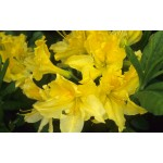Azalea 'Lemon Lights'