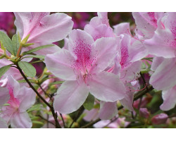 Azalea 'Orchid Lights'