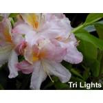 Azalea 'Tri-Lights'