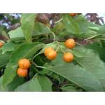 Celastrus scandens 'Diana' (femelle) - Bourreau des arbres