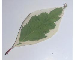 Cornus alba 'Ivory Halo'