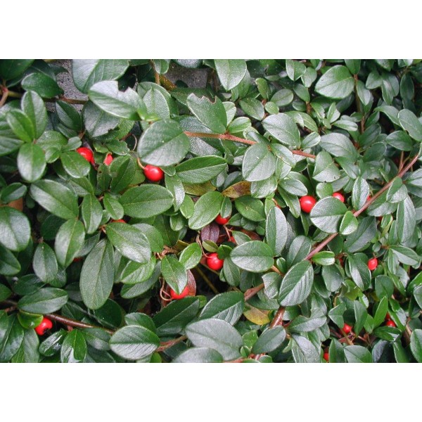 Cotoneaster dammeri 39 coral beauty 39 centre jardin multi for Catalogue arbustes jardin