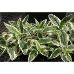 Diervilla sessilifolia 'Cool Splash'