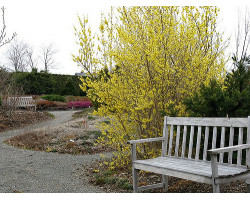 Forsythia 'Northern Gold'