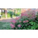 Hydrangea arborescens 'Invincibelle'