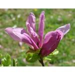 Magnolia soulangiana 'Susan'