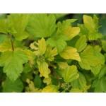Physocarpus opulifolius 'Festivus Gold'
