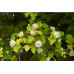 Physocarpus opulifolius 'Lemon Candy'