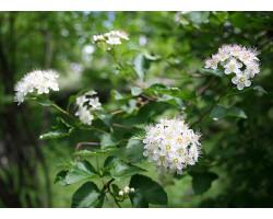 Physocarpus opulifolius 'Nanus'
