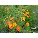 Potentilla fruticosa 'Orangeade'