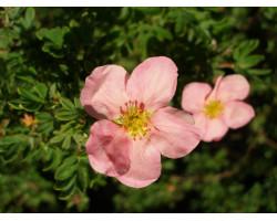 Potentilla fruticosa 'Pink Beauty'