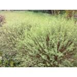 Salix purpurea 'Gracillis'