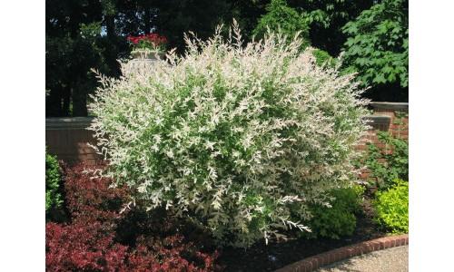 Salix integra 39 hakuro nishiki 39 centre jardin multi feuillages - Salix hakuro nishiki taille ...