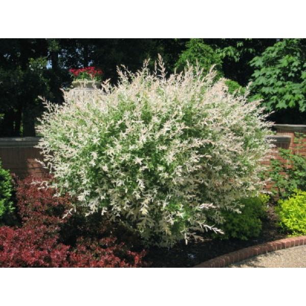 Salix integra 39 hakuro nishiki 39 centre jardin multi for Catalogue arbustes jardin