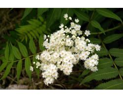 Sorbaria 'aitchisonii'