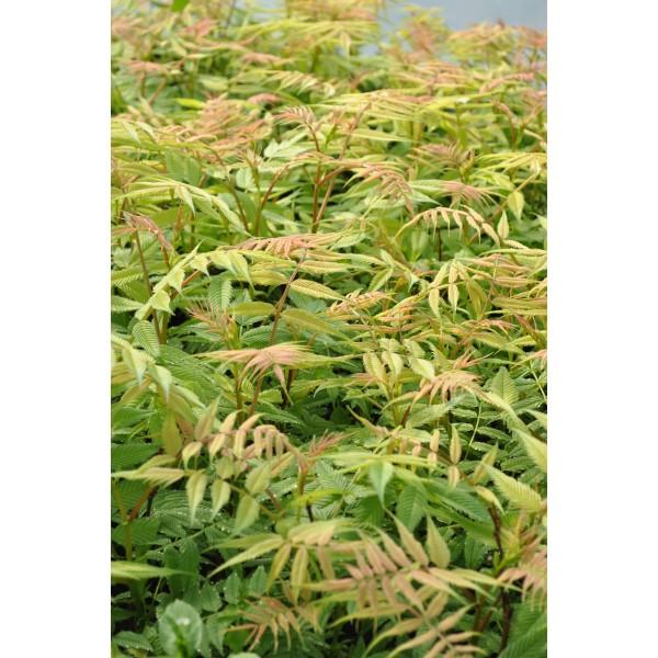 Sorbaria sorbifolia 39 sem 39 centre jardin multi feuillages for Catalogue arbustes jardin