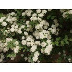 Spiraea x 'Snow White'