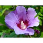 Hibiscus syriacus 'Violet Satin'