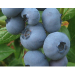 Bleuet 'Patriot' - Vaccinium 'Patriot'