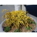 Chamaecyparis pisifera 'Aurea nana' - Faux-cyprès