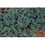 Juniperus horizontalis 'Blue Star'
