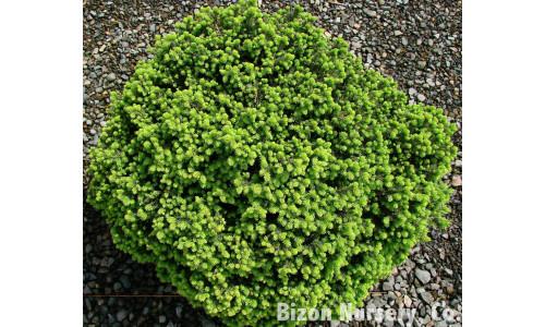Picea abies 'Little Gem' - Épinette de Norvège Little Gem