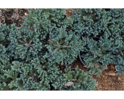 Juniperus horizontalis 'Blue Star'