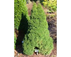 Picea glauca 'Conica' - Épinette naine