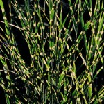 Miscanthus sinensis 'Punktchen'