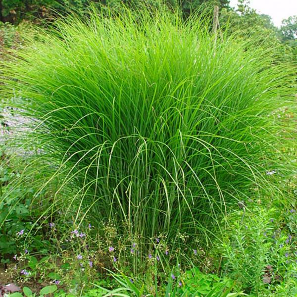 miscanthus sinensis 39 gracillimus 39 centre jardin multi
