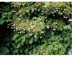 Hydrangea anomala 'Petiolaris'