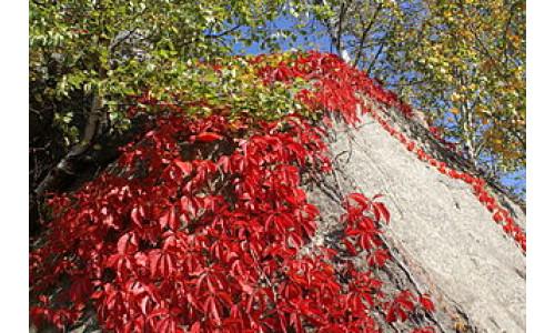 Parthenocissus quinquefolia 'Engelmanii'