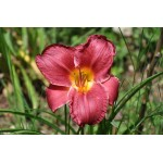 Hemerocallis 'Charles Johnson'
