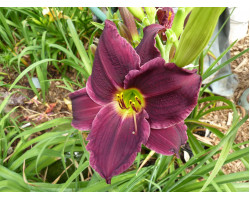 Hemerocallis Grape Velvet