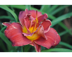 Hemerocallis Highland Lord