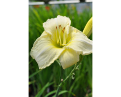 Hemerocallis Joan Senior