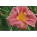 Hemerocallis 'Rosy Returns'